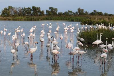Greater Flamingo (Phoenicopterus Roseus), Camargue, Provence-Alpes-Cote D'Azur, France, Europe-Sergio Pitamitz-Photographic Print