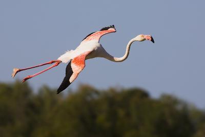 Greater Flamingo (Phoenicopterus Roseus) in Flight, Camargue, France, May 2009-Allofs-Photographic Print