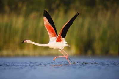 Greater Flamingo (Phoenicopterus Roseus) Taking Off from Lagoon, Camargue, France, May 2009-Allofs-Photographic Print