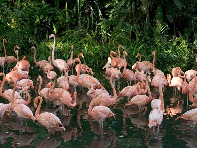 Greater Flamingo (Phoenicopterus Ruber) Flock Wading in Shallow Water-Cyril Ruoso-Photographic Print
