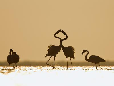 Greater Flamingo (Phoenicopterus Ruber) Interacting at Sunrise, Camargue, France-Konrad Wothe-Photographic Print