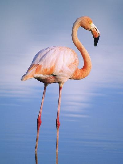 Greater Flamingo (Phoenicopterus Ruber), Isabela Island, Galapagos Archipelago, Ecuador-Wayne Lynch-Photographic Print