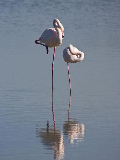Greater Flamingo (Phoenicopterus Ruber) Pair Sleeping on One Leg, Camargue, France-Konrad Wothe-Photographic Print