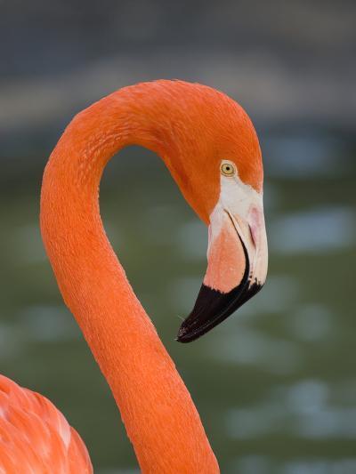 Greater Flamingo (Phoenicopterus Ruber) Portrait, San Diego Zoo, California-Tom Vezo/Minden Pictures-Photographic Print