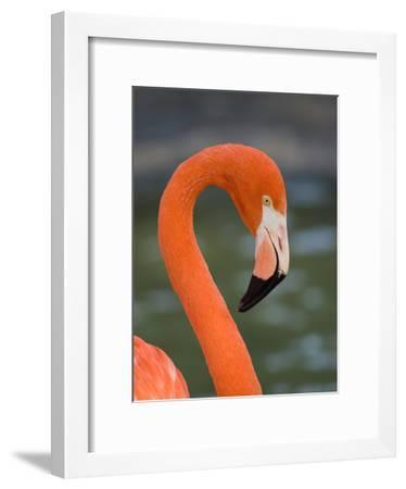 Greater Flamingo (Phoenicopterus Ruber) Portrait, San Diego Zoo, California-Tom Vezo/Minden Pictures-Framed Photographic Print