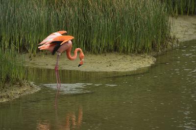 Greater Flamingo, Punta Moreno Isabela Island, Galapagos, Ecuador-Pete Oxford-Photographic Print