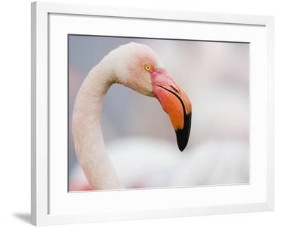 Greater Flamingo-Theo Allofs-Framed Photographic Print