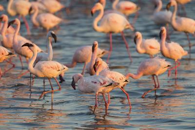 Greater Flamingoes (Phoenicopterus Ruber) and Lesser Flamingoes (Phoenicopterus Minor)-Ann and Steve Toon-Photographic Print