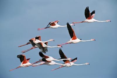 Greater Flamingoes-Tony Camacho-Photographic Print
