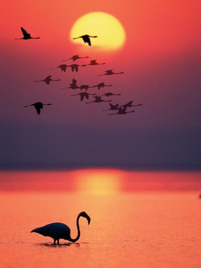 Greater Flamingos at Sunset--Photographic Print