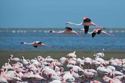 Greater Flamingos in Flight Near Walvis Bay, Namibia-Alex Saberi-Photographic Print