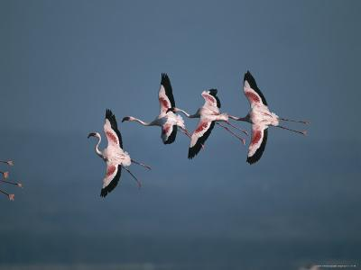 Greater Flamingos in Flight-Roy Toft-Photographic Print