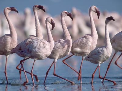 Greater Flamingos, Lake Nakuru, Kenya-Roy Toft-Photographic Print