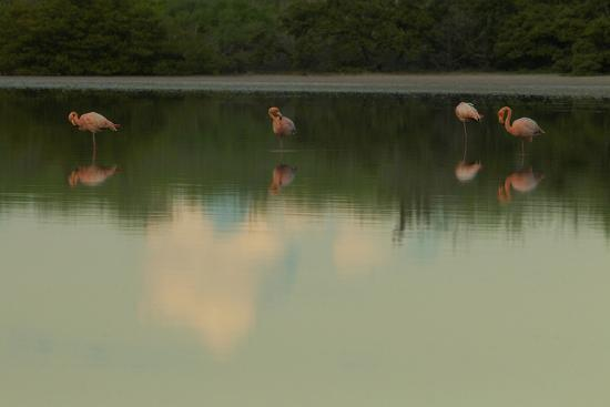 Greater Flamingos, Phoenicopteriformes Roseus, Resting and Grooming While Standing in Water-Tim Laman-Photographic Print