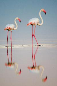 Greater Flamingos (Phoenicopterus Roseus) in a Lake, Ndutu, Ngorongoro Conservation Area, Tanzania