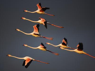 Greater Flamingos (Phoenicopterus Roseus) in Flight, Camargue, France, April 2009-Allofs-Photographic Print