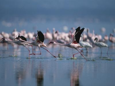 Greater Flamingos Run Through Shallow Water as They Take Flight-Roy Toft-Photographic Print