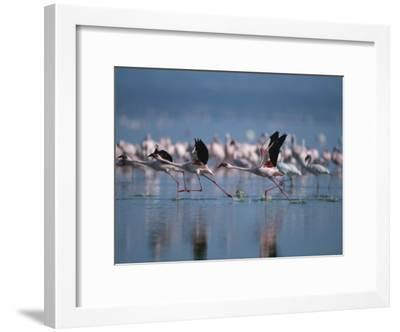 Greater Flamingos Run Through Shallow Water as They Take Flight-Roy Toft-Framed Photographic Print