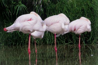 Greater Flamingos Sleeping-Tony Camacho-Photographic Print
