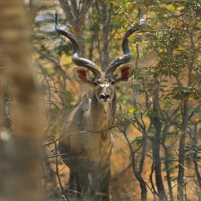 Greater Kudu , Kenya, Africa-Tim Fitzharris-Photographic Print