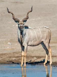 Greater Kudu (Tragelaphus Strepsiceros) at Waterhole, Etosha National Park, Namibia