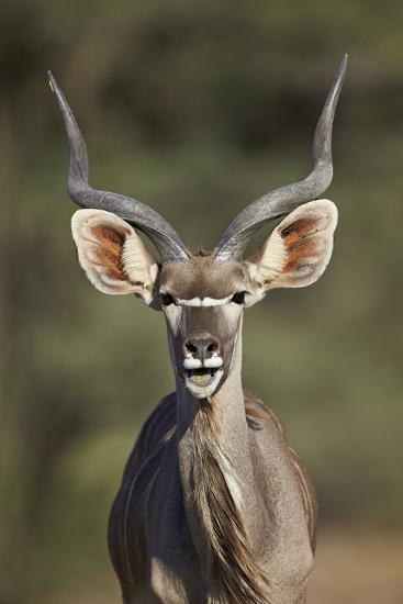 Greater Kudu (Tragelaphus Strepsiceros) Buck with His Mouth Open-James Hager-Photographic Print