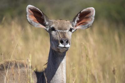greater kudu (tragelaphus strepsiceros) female, kruger national parkgreater kudu (tragelaphus strepsiceros) female, kruger national park, south africa, africa photographic print by ann \u0026 steve toon art com