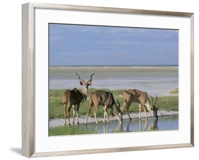 Greater Kudu (Tragelaphus Strepsiceros) Males at Seasonal Water on Etosha Pan, Namibia, Africa-Steve & Ann Toon-Framed Photographic Print