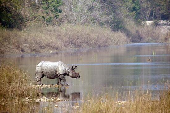 Greater One-Horned Rhinoceros Specie Rhinoceros Unicornis in Bardia, Nepal- Utopia_88-Photographic Print