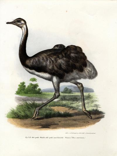 Greater Rhea, 1864--Giclee Print