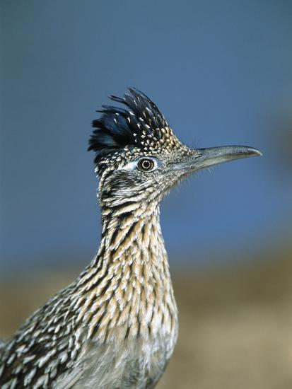 Greater Roadrunner (Geococcyx Californianus) Portrait, Green Valley, Arizona-Tom Vezo/Minden Pictures-Photographic Print