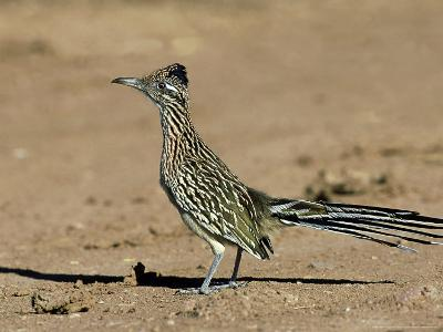 Greater Roadrunner, New Mexico-David Tipling-Photographic Print