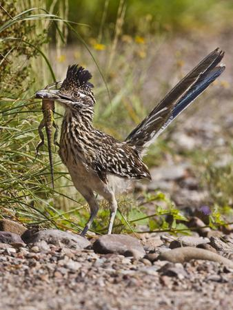 Greater Roadrunner, Texas, USA-Larry Ditto-Photographic Print