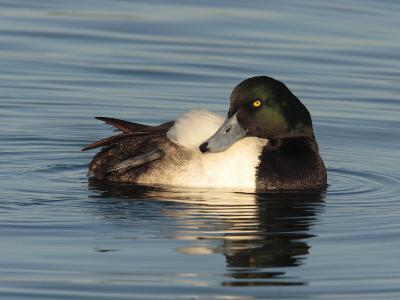 Greater Scaup Duck, Aythya Marila, in Calm the Choptank Waters-George Grall-Photographic Print