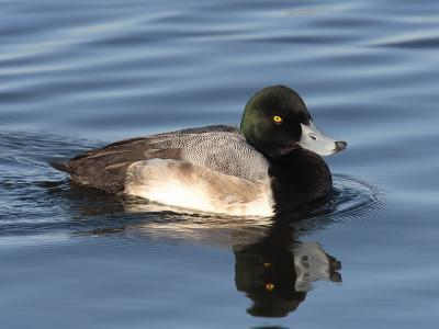 Greater Scaup Duck, Aythya Marila, Swimming in the Chesapeake Bay-George Grall-Photographic Print