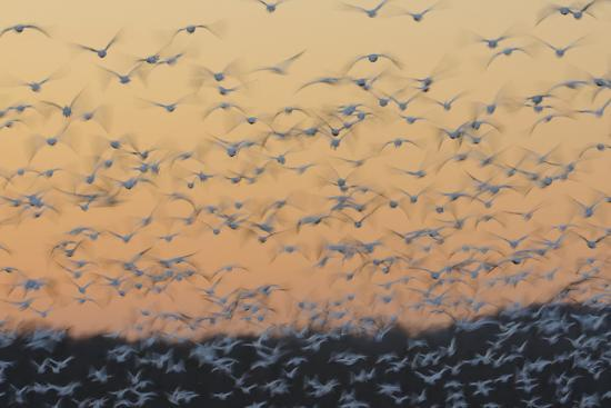 Greater Snow Geese (Chen Caerulescens) Taking Flight at Sunset During Migration-Gerrit Vyn-Photographic Print