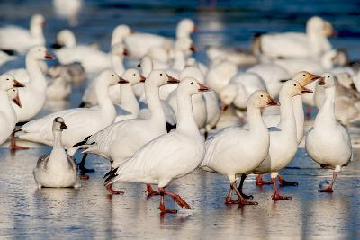 Greater Snow Geese Rest on the Saint Francis River During Migration-David Doubilet-Photographic Print