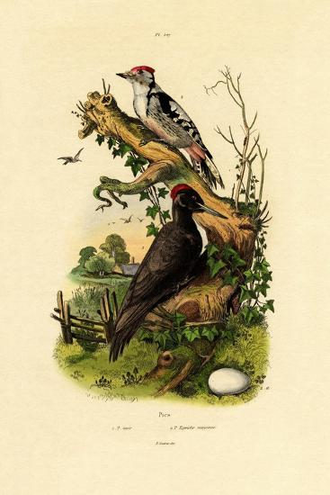Greater Spotted Woodpecker, 1833-39--Giclee Print