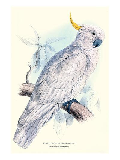 Greater Sulpher-Crested Cuckatoo - Cacatua Galerita-Edward Lear-Art Print