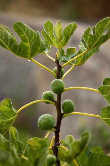 Greece, Crete, Fig Tree-Catharina Lux-Photographic Print