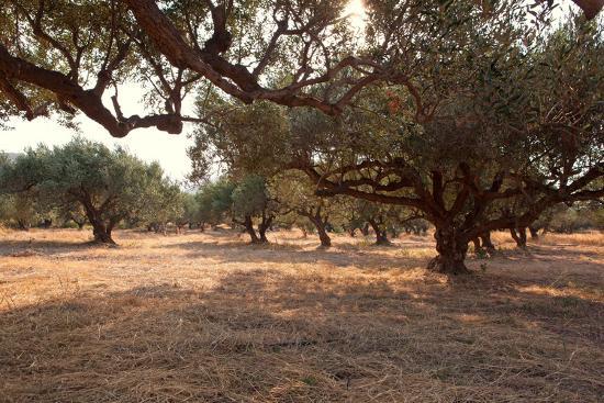 Greece, Crete, Olive Grove-Catharina Lux-Photographic Print