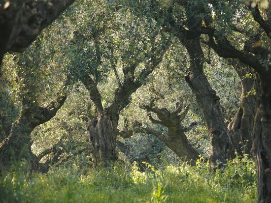 Greece, Olive Grove, Olive Trees, Old-Thonig-Photographic Print