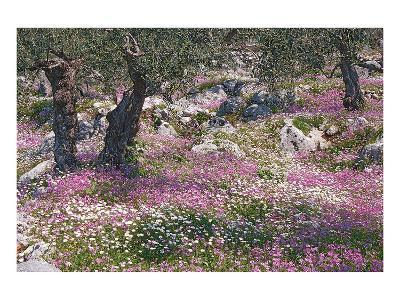 Greek Garden Olive Trees--Art Print