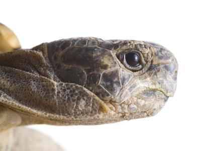 Greek Spur Thighed Tortoise Head Portrait, Spain-Niall Benvie-Photographic Print