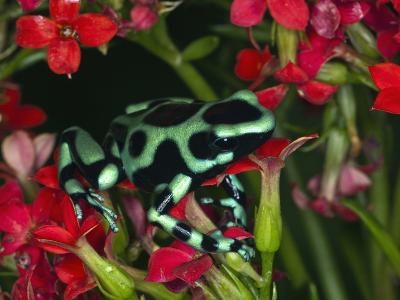 Green and Black Dart Frog, Costa Rica-Adam Jones-Photographic Print