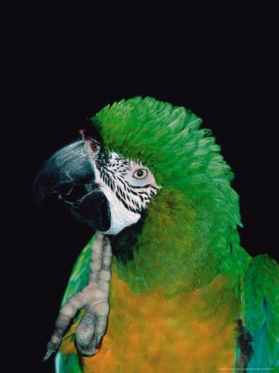 Green and Gold Macaw, Galveston Botanical Garden, Moody Gardens, Texas, USA-Dee Ann Pederson-Photographic Print