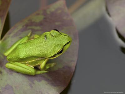 Green and Golden Bell Frog, Juvenile on Water Lily Leaf, New Zealand-Tobias Bernhard-Photographic Print