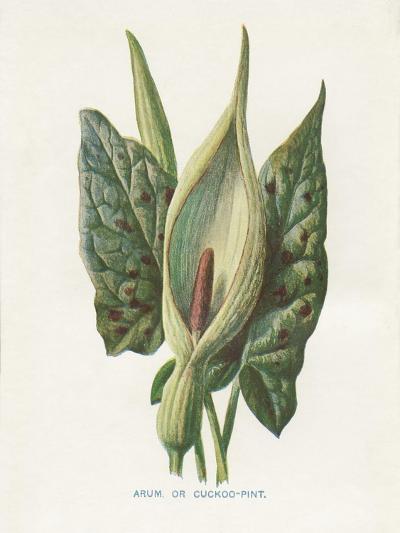 Green Arum-Gwendolyn Babbitt-Art Print