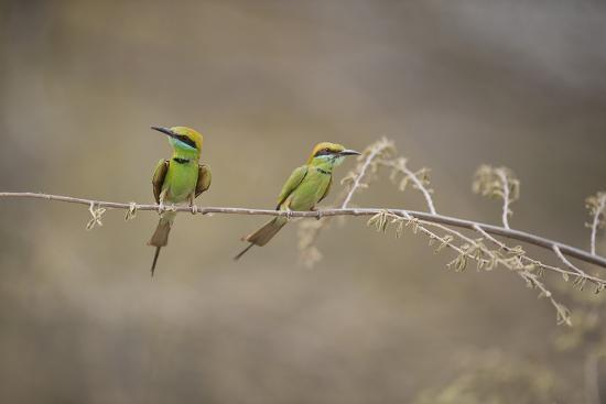 Green Bee Eater, Ranthambhore National Park, Rajasthan, India, Asia-Janette Hill-Photographic Print