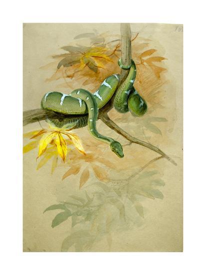 Green Boa-Joseph Wolf-Giclee Print